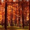 水元公園 メタセコイアの紅葉 ~レンガ色の古代林~