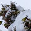 日本 雪の日のマヒワ