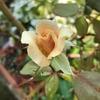 もう咲かないと思っていたら暑さに負けずにバラの花が咲いた~♡