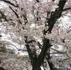 桜の見頃に雨つづき