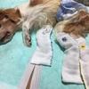 老犬介護日記13 安楽死について調べてみて。