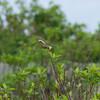 【6月9日:エゾカンゾウ観察5】野鳥の誘惑に抗えなくなってきた。