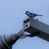 🐦野鳥の回【29】🆕 シジュウカラ(四十雀)