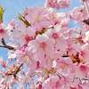 【当たり前のことなんて何もない】 ~早咲きの桜を見に行った。そしてあらためて感じた。「明日のことなんて誰にもわからない」~ (#鷲宮神社 #ラキスタ #河津桜 #新型コロナウィルス #東日本大震災)