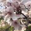 長く楽しむ桜2019