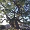 川古の大楠(かわごのおおくす) 武雄市にある全国5番目に大きい楠