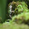 ニホンアマガエルHyla japonica