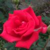 相模原北公園のバラ!(10月6日)