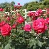 無料のバラ苑でバラを鑑賞してきました~生田緑地園