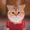 イカ耳でバレるネコの愛? 悪役ペルシャ猫がいいお味 / Love Catually-AaronsAnimals
