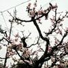 梅が満開に近づいている