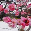墨東雪景色&探梅記(隅田川七福神巡り)