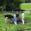 牛の放牧中止