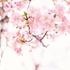 アメリカ初代大統領 ワシントンの桜の木の話は作り話?