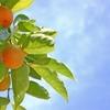 美肌効果!柿の葉茶~ビタミンCはレモンの20倍!