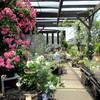 週末の庭時間・・バラと、ボウルいっぱいのジューンベリー