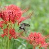 9/17・秋の蝶たち 〜 カタバミの花にヤマトシジミ、ヒガンバナの花にアゲハチョウが楽しめました