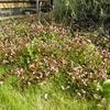 グランドカバーのヒメツルソバに花が咲きました。ミツバチさんいらっしゃいー。