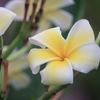 今日の誕生花「プルメリア」アロハの代表的な花で、香水の原料!