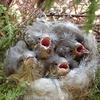 巣立ち予定日の野鳥のヒナは、たまに枝にとまってみる
