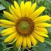 太陽の花ヒマワリが消え、夏が去る