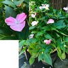 夏の庭を彩るインパチェンス: 語源をたどるとimpatient=「我慢できない」でした. そして俗名はtouch-me-not=「私に触らないで」.日本語訳はホウセンカ?「砕け散る/はじけ飛ぶ」花?