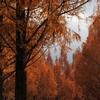 メタセコイア並木の紅葉(後編)