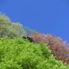 京都にて、早すぎる新緑の見頃