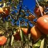 柿食えば、、、