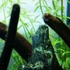 【アクアリウム】ミナミヌマエビが繁殖している / 稚エビが可愛い