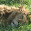 【夢日記】ライオンは眠っている