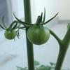 緑の成長記録。トマトが結実しはじめました!