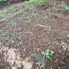 玉ねぎ定植後