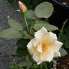2011/09/19 暑さも落ち着いて開花したジュリア