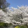 お花見    ふるさとin松山