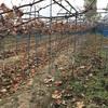12月11日(ブドウの樹伐採)