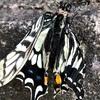 アゲハ蝶の羽化とケーン!という鳴声