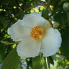 ヒメシャラのそっくりさん ナツツバキの花の不思議