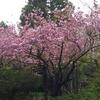 最後になって桜を見ながら走る