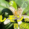 【レモン栽培】春(3月~5月)にやることまとめ【柑橘類の育て方】