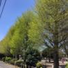 春爛漫、イチョウの芽吹き!(2020年)