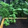 家庭菜園、バジル近況