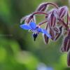 高知県モネの庭の『ボリジ』