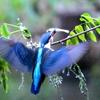 藤の季節ー藤の枝に魚をくわえたカワセミが