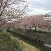 今度は八重桜