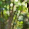 【フリー効果音】蝉の大合唱~クマゼミ 圧倒的美ボイスに聞き惚れろ! 無料素材mp3有り