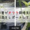 【家庭菜園】初心者がオクラ栽培失敗したので、失敗原因についてレポートしてみる!