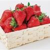 甘くて大玉…熊本県がイチゴ新品種開発
