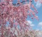 兼六園の桜!満開の時期と入場料・駐車場・時間・混雑・見どころ(噴水・桜の木)の詳細!