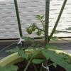 【食育】続・枝の折れたトマトを挿し木したら2週間で実がなった!